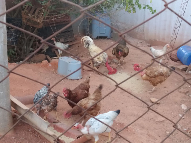 Vendo 5 galinhas 2 frangos 1 galo e 9 franguinhos - Foto 2