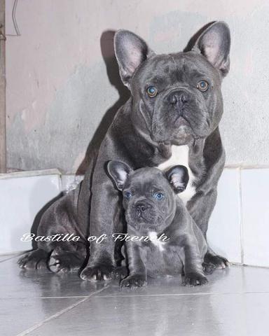 Bulldog Francês Blue Solido Sem Rajas Disponível Para Coberturas