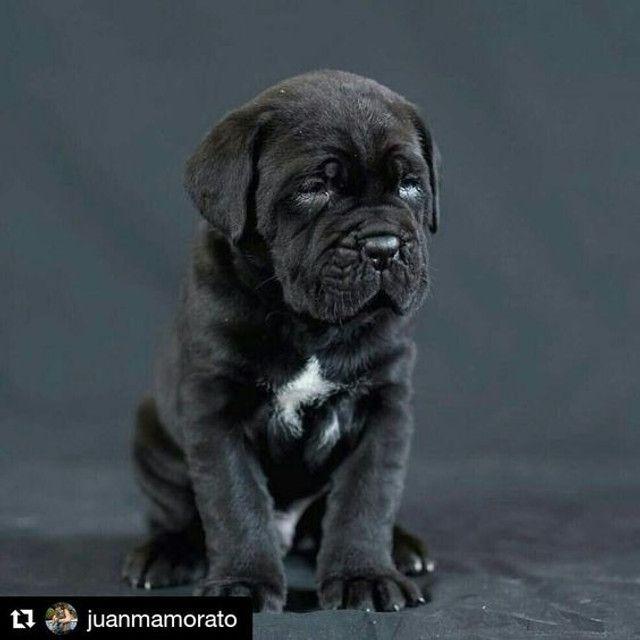 Filhote de cane corso - Foto 3