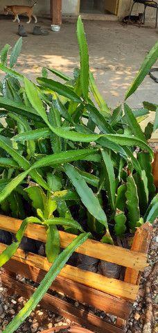 Mudas de pitayas polpa branca - Foto 2