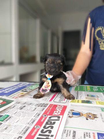 Yorkshire Terrier tamanhos micro e padrão, machos e fêmeas! * - Foto 2
