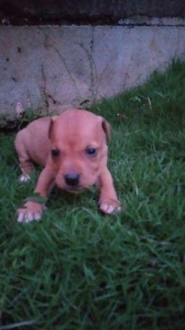 Filho de pitbull ( 1 mês e meio) todos machos  - Foto 4