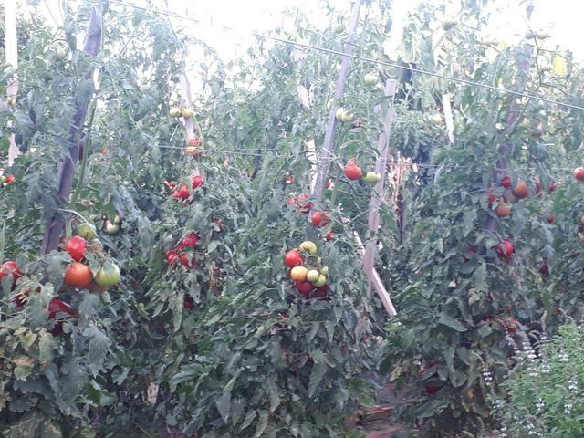 Tomates - Foto 6