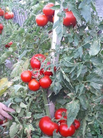 Tomates - Foto 3