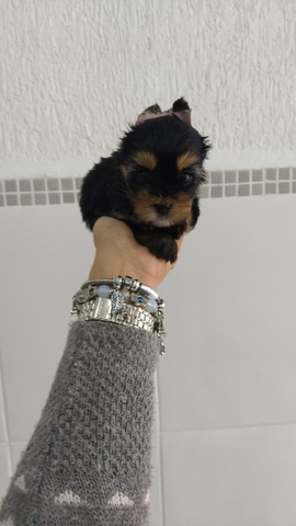 Yorkshire Terrier tamanhos micro e padrão, machos e fêmeas! * - Foto 3
