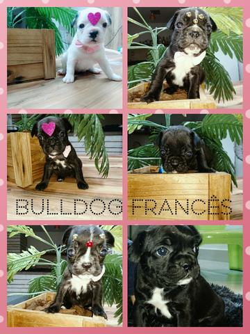 Buldog frances com pedigree