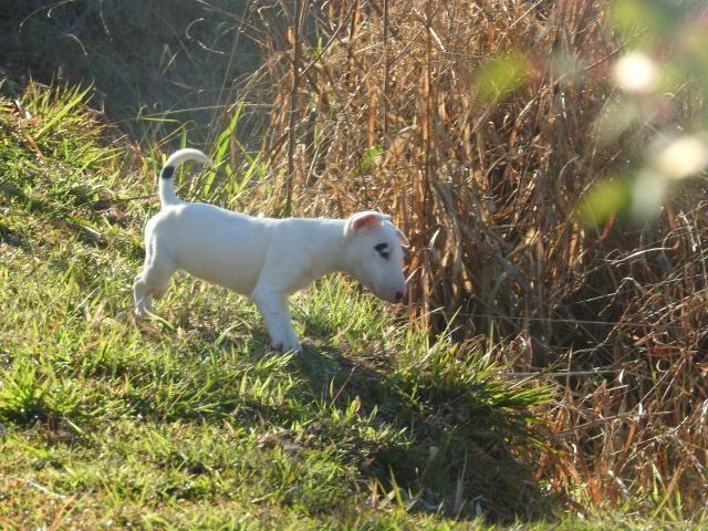 Caniplus Bull terrier - Foto 2