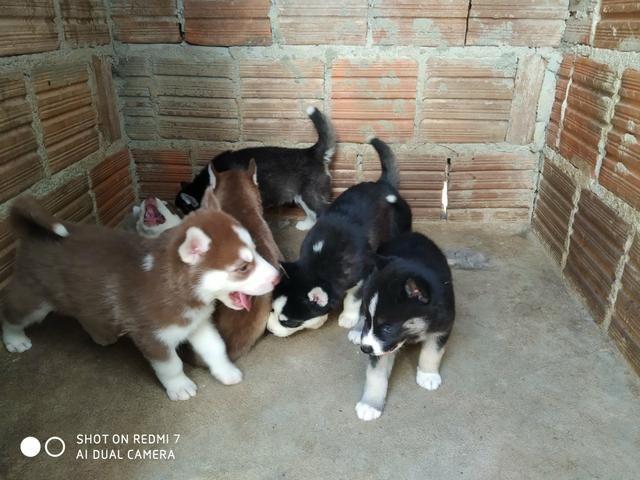 Filhotes de Husky Siberiano - Foto 6