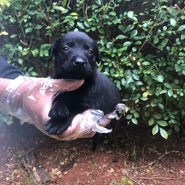 Labrador fêmea e machinho com garantia de genética