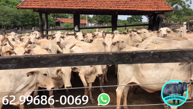 BOV2441 - 129 vacas Nelore paridas e amojando - Mossâmedes/GO