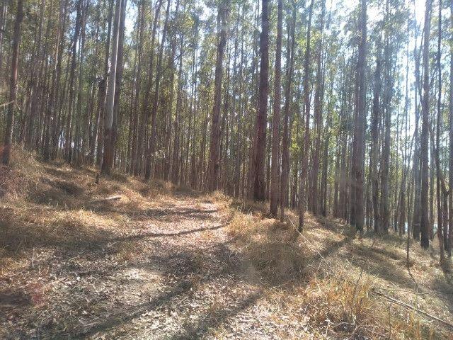 Florestas de Eucaliptos - Foto 2