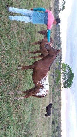Potro Apaloosa/quarto de milha (macho) nascido dia 02/11/ 2019 - Foto 4
