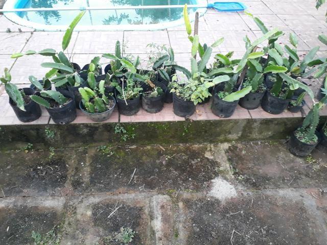 Mudas de pitaya orejona - Foto 2