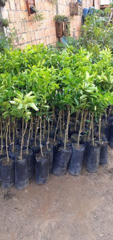 Plantas cítricas xertadas - Foto 4