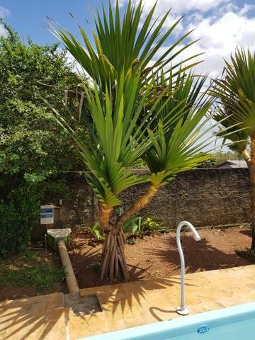 Palmeira Pandanus