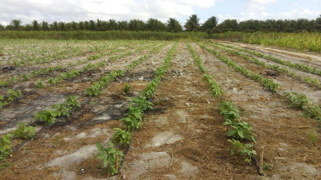 16 Ha irrigado Baixa Acaraú próximo do Marco - Foto 2