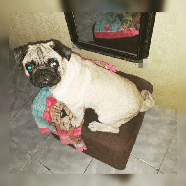 Procura-se namorada Pug - Foto 2