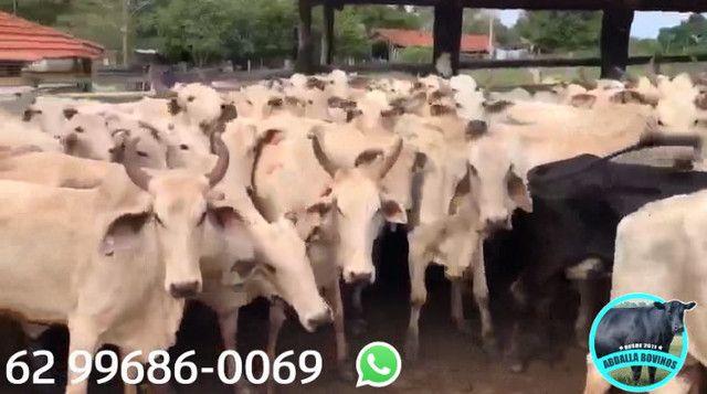 BOV2441 - 129 vacas Nelore paridas e amojando - Mossâmedes/GO - Foto 3