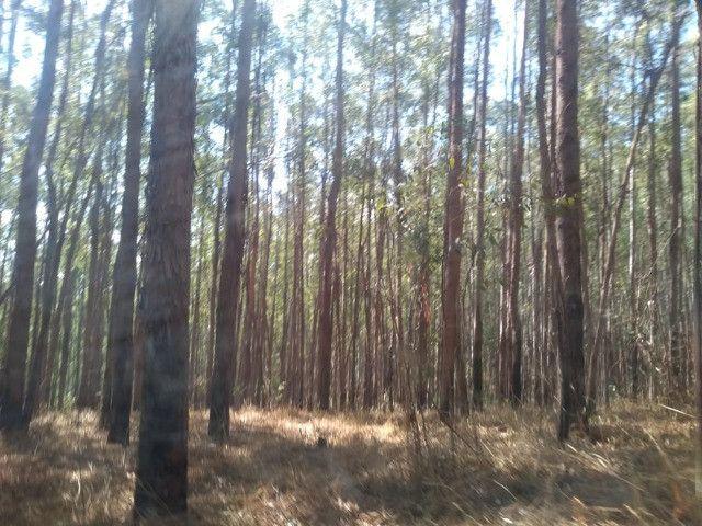 Florestas de Eucaliptos