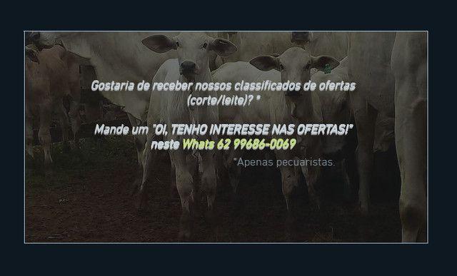 BOV2441 - 129 vacas Nelore paridas e amojando - Mossâmedes/GO - Foto 5