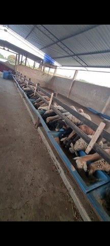 Venda Lote de 40 cordeiros / carneiro - Foto 2