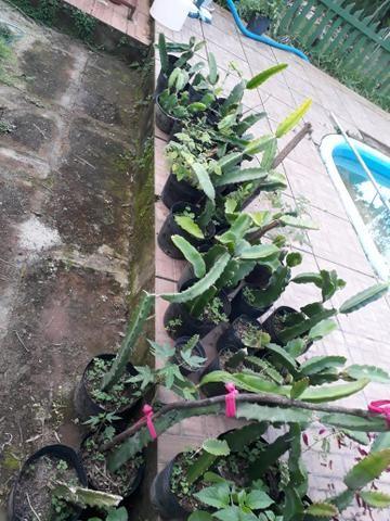 Mudas de pitaya orejona - Foto 4