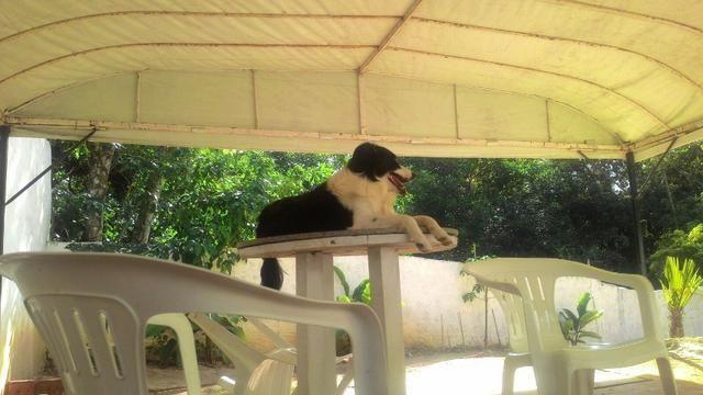 Adestramento Canino! adestramos seu cão - Foto 5