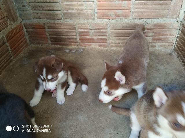 Filhotes de Husky Siberiano - Foto 5