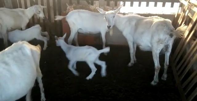 Vendo cabras e bode Saanen - Foto 3