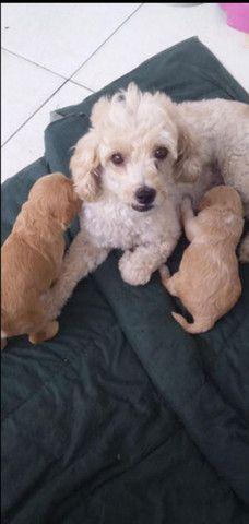 Lindos filhotes de poodle toy disponível