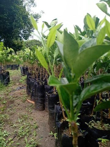 Plantas cítricas xertadas - Foto 2