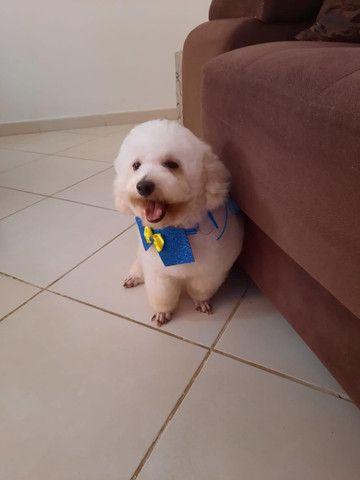 Lindos filhotes de poodle toy disponível - Foto 2