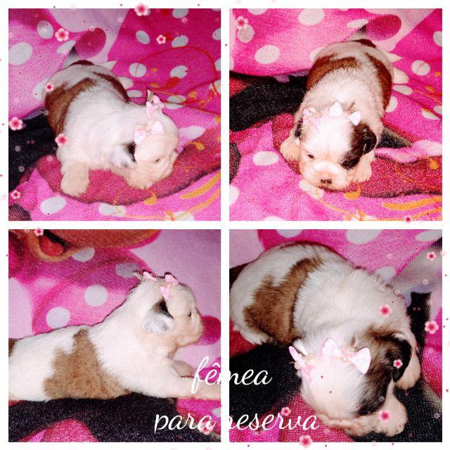 Linda bebê de Shih tzu fêmea disponível para reserva, com Pedigree e Microchip - Foto 4