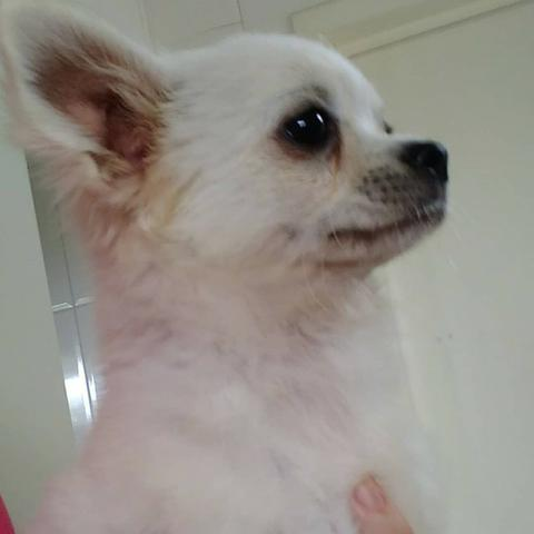 Lindo filhote macho de chihuahua - Canil Chi Brave Cane