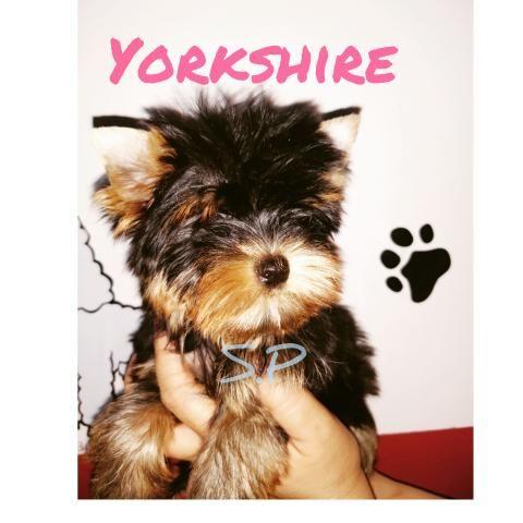 Yorkshire baby face micro c/pedigree em10xs/juros - Foto 2