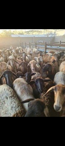 Venda Lote de 40 cordeiros / carneiro - Foto 4