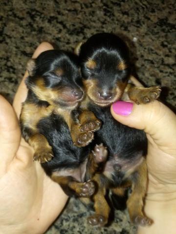 Vendo filhote machinho de yorkshire terrier com pedigree