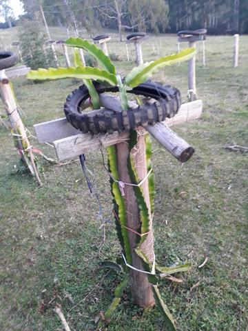 Mudas de pitaya orejona - Foto 5