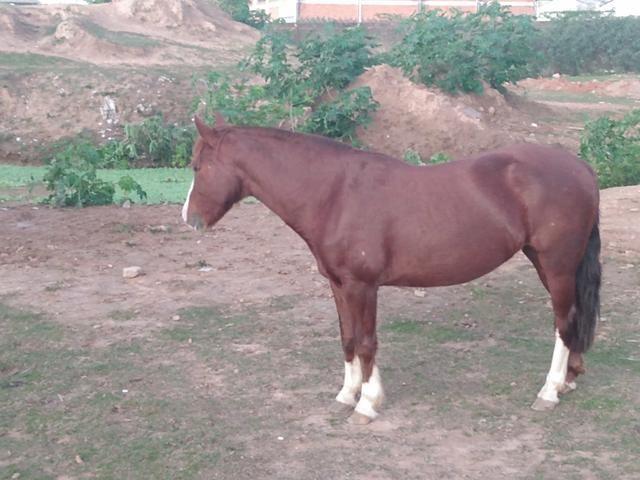Vendo Égua Confirmada - Foto 3