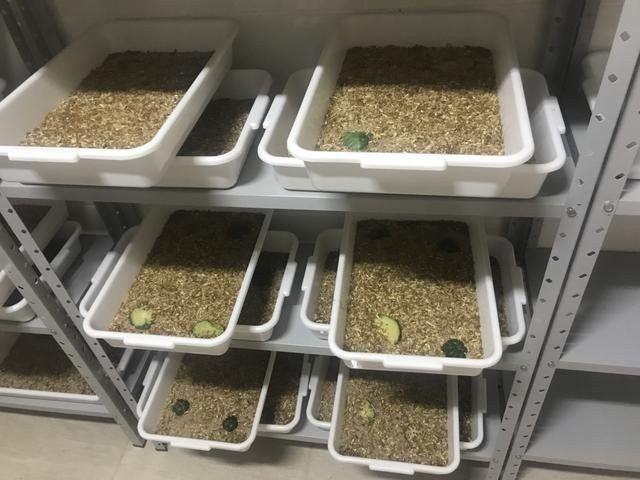 Grilos, Larvas ou Criação de Tenébrio completa