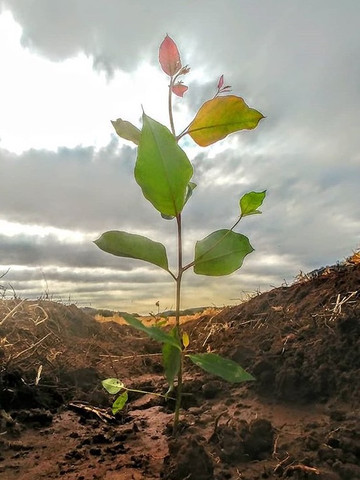 Eucaliptos, mudas e sementes - Foto 2
