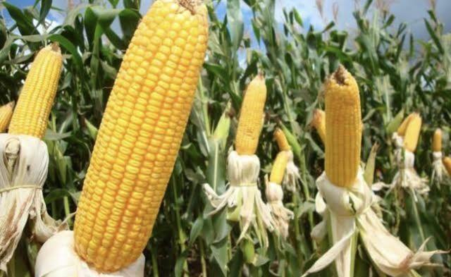 Semente de milho Feroz - Foto 2