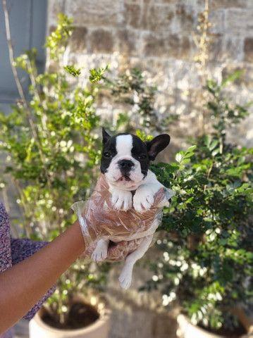 Bulldog Francês, filhotes a pronta entrega! whatsApp 113565-1269 - Foto 4