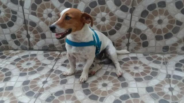 "Filhote Fêmea Jack Russell Terrier - ""Cachorro do Máscara"" com Pedigree - Foto 2"
