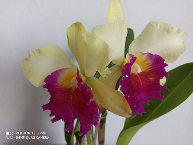 Orquideas - Diversas - Foto 4