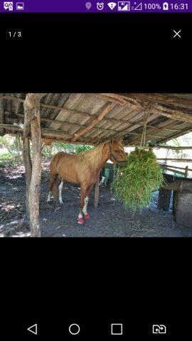 Égua prenha...ta para parir... - Foto 2