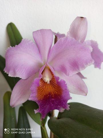 Orquideas - Diversas - Foto 6