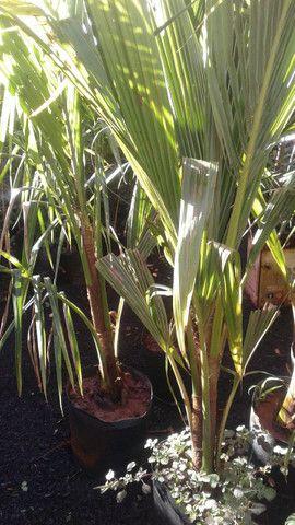 Viveiro do coco anão-Grande Promoção- Temos frutíferas produzindo-citrícas - Foto 6