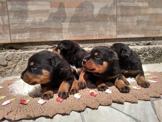 Filhotes de rottweiler com 30 dias