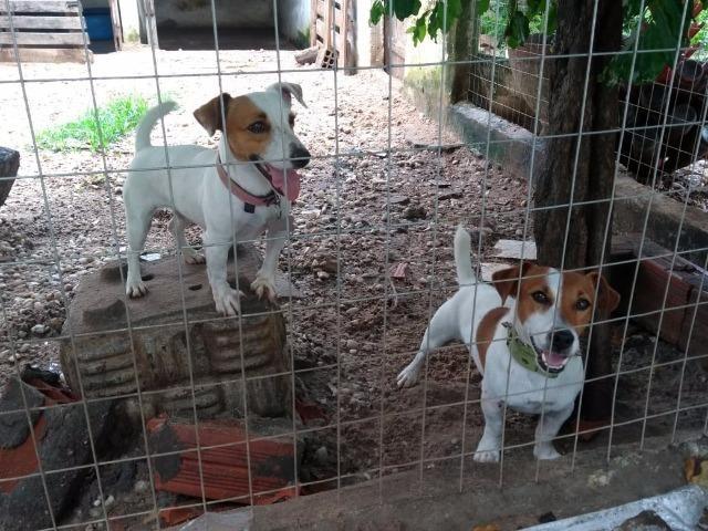 "Filhote Fêmea Jack Russell Terrier - ""Cachorro do Máscara"" com Pedigree"